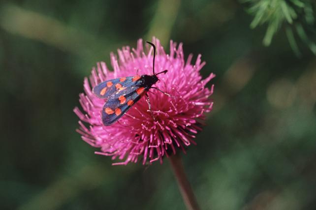 centaurearhaponticaandbutterfly