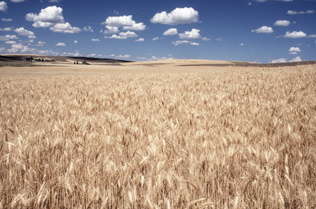 wheatfieldandclouds