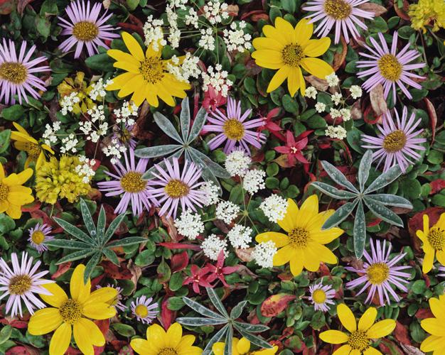 alpineflowerscloseup