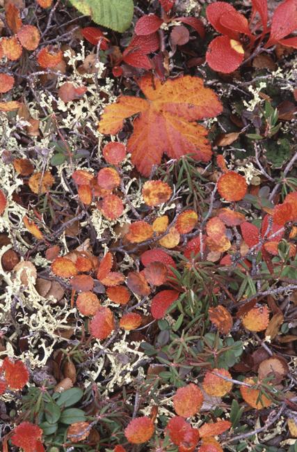 arctictundrafoliage