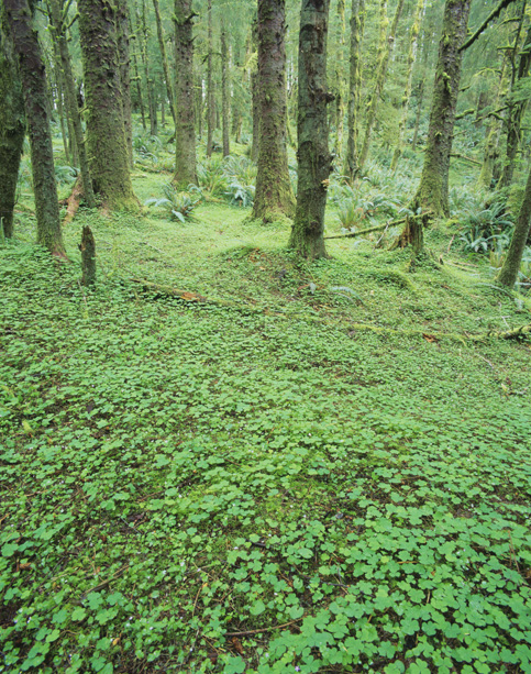 Spruce forest and Sorrel, Ecola Park, Coast, OR
