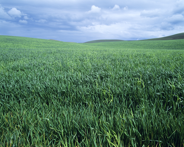 wheatfieldinspring
